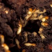 termites upclose