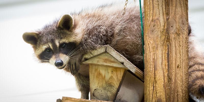 Raccoon on bird house